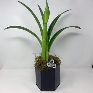 amaryllis potted christmas plant