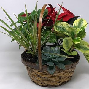 christmas planter tropical poinsetta