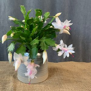 Bunch of Carnations Christmas cactus