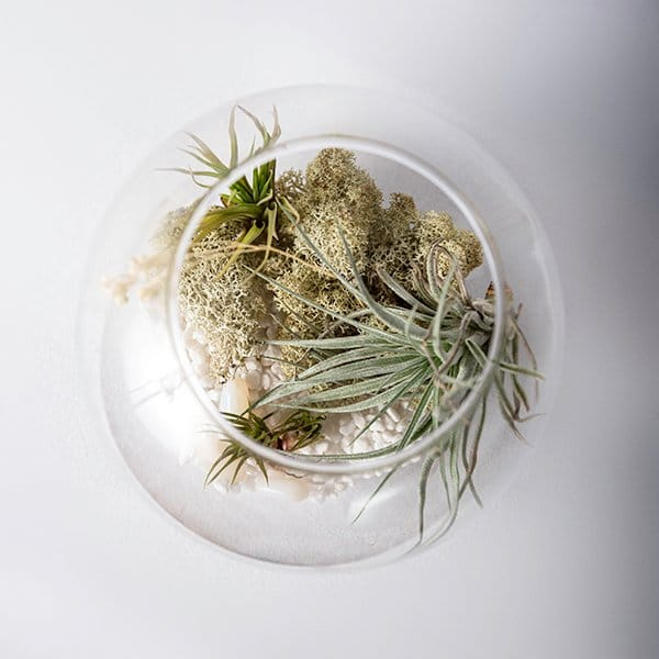 glass terrarium bowl airplants dried moss top